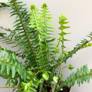 Nephrolepsis cordifolia 'Arctic Jungle' showing leaf structure