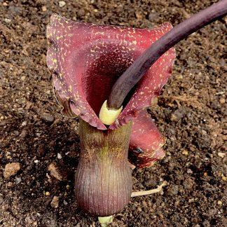 Sauromatum venosum 'Indian Giant' spadix at Big Plant Nursery