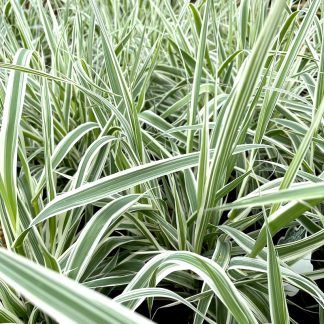 Arundo donax 'Variegata' plants growing at Big Plant Nursery