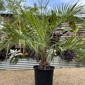 Butia eriospatha 30 litre plant at Big Plant Nursery