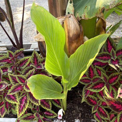 Caulokaempferia sikkimensis mature plant at Big Plant Nursery