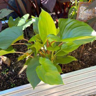 Homalomena rubescens 'Maggy' at Big Plant Nursery