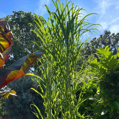 Triarrhena lutarioparia in July at Big Plant Nursery