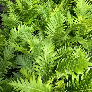 Blechnum gibbum 'Silver Lady' plants at Big Plant Nursery
