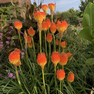 Kniphofia rooperi mature plant