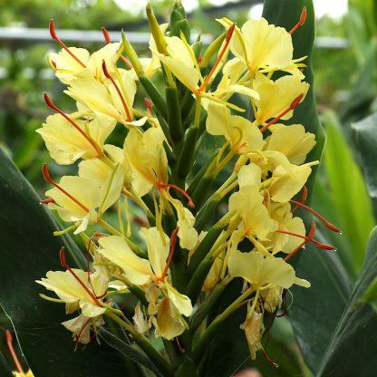 Hedychium 'Dixter' in flower at Big Plant Nursery